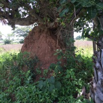 Termite Mound Built Against A Tree
